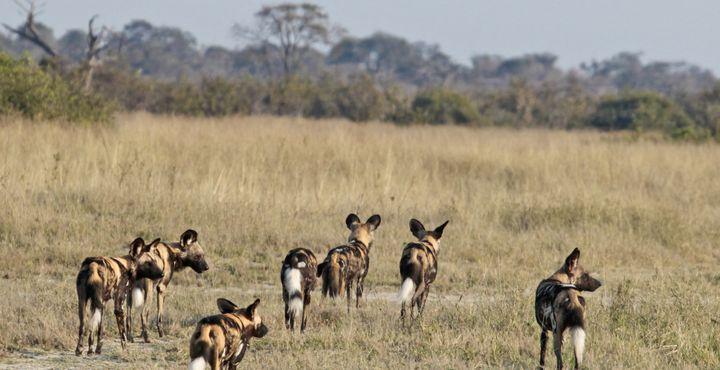 Während der Trockenzeit können Sie Giraffen, Wildhunde und Hyänen an permanenten Wasserstellen antreffen.