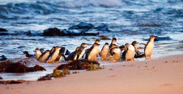 Auf Phillip Island kommen die kleinen Frakträger nach und nach aus dem Wasser gewatschelt.