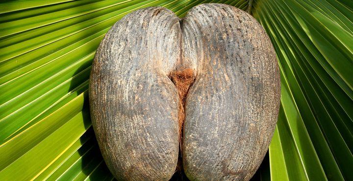 Nur auf den Seychellen wächst die berühmte Coco-de-Mer Palme auf natürliche Weise.