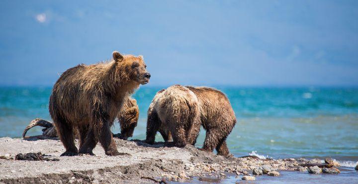 Optional können Sie zum Kurilensee fliegen und bei einer Wanderung die Braunbären bei der Jagd beobachten.