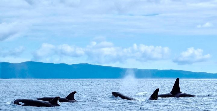 Mit etwas Glück können Sie bei einer Walbeobachtungstour einen Blick auf die riesigen Meeressäuger erhaschen.
