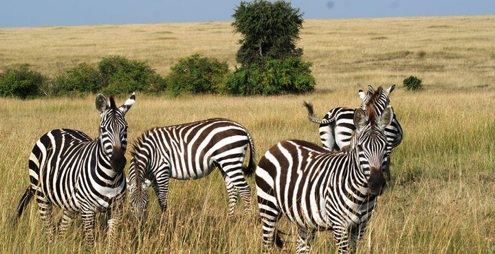 Was wäre Afrika ohne seine Zebras?