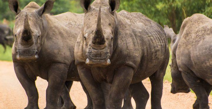 """Nicht zu vergessen ist das Nashorn. Mit ein wenig Glück können Sie auf alle Vertreter der """"Big Five"""" im privaten Natur- und Wildschutzgebiet treffen. Bild: Michael Jansen"""