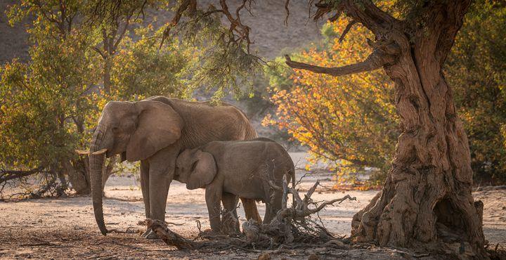 Das Damaraland zählt zu den letzten Regionen in Afrika, in denen das Hartmannsche Bergzebra, die Giraffe, der Springbock, das Spitzmaulnashorn und der Wüstenelefant in freier Wildbahn leben.