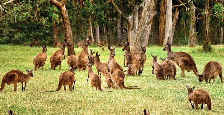 Kängurus so weit das Auge reicht - Nicht umsonst sind die Beuteltiere Namensgeber der Insel in der Nähe von Adelaide.