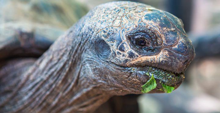Ein Highlight sind die Riesenschildkröten, die hier auf den Seychellen beheimatet sind.