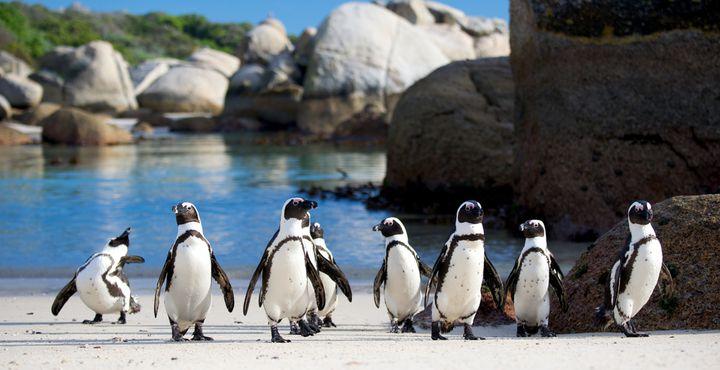 """Pinguine in Südafrika? Ja, die gibt es hier. Ganz viele der süßen Frackträger """"wohnen"""" am Boulders Beach."""