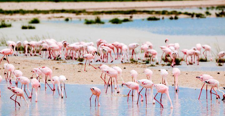 Die Etosha Pfanne ist eine der wichtigsten Flamingo-Brutstätten des südlichen Afrikas.