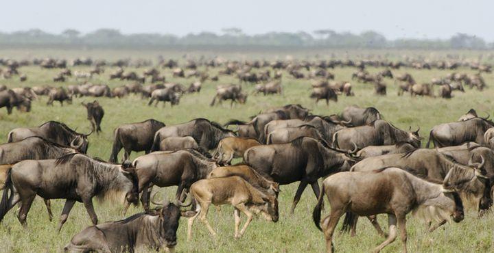 """Millionen Gnus im Serengeti Nationalpark! Erleben Sie die """"Great Migration"""" aus nächster Nähe! Bild: A&K"""