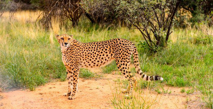 Im Na'ankuse Wildlife Reservat kommen Sie zusammen mit Marlice van Vuuren Geparden ganz nah.