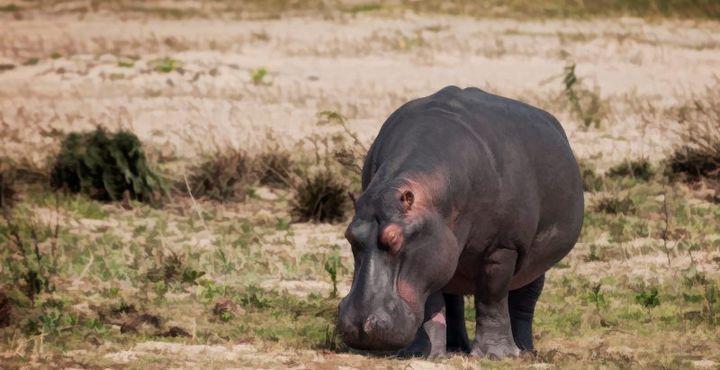 Auch Nilpferden können Sie im iSimangaliso Wetland Park begegnen.