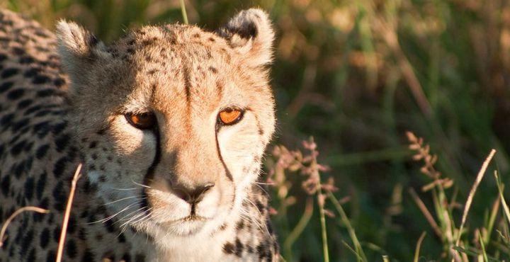 In der Masai Mara können Sie außerdem auf Geparden treffen.