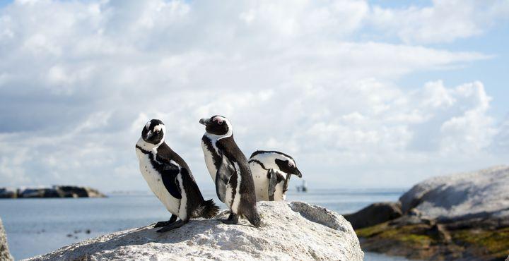 Besuchen Sie auch die Pinguinkolonie am Boulders Beach.