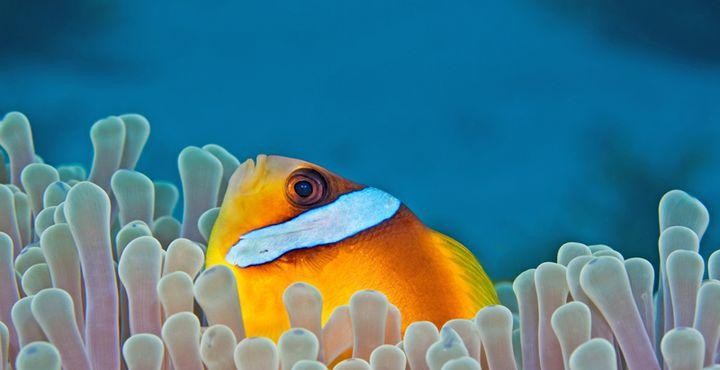 Wer versteckt sich denn hier? Es ist ein Anemonenfisch auch Clownfisch genannt.
