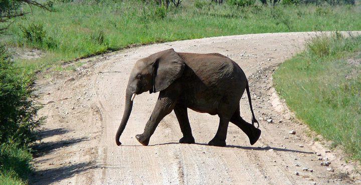 Mit etwas Glück durchquert auch bei Ihnen ein süßer Baby-Elefant den Weg.