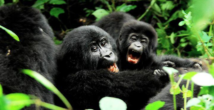 Erwischt! Neugierige Berggorillas im Gestrüpp! Bild: A&K