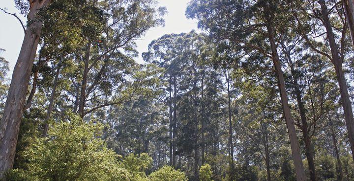 Der Karri-Forest in Pemberton ist der perfekte Gegenpol zu den Stränden von Albany. Bild: Tourism Australia
