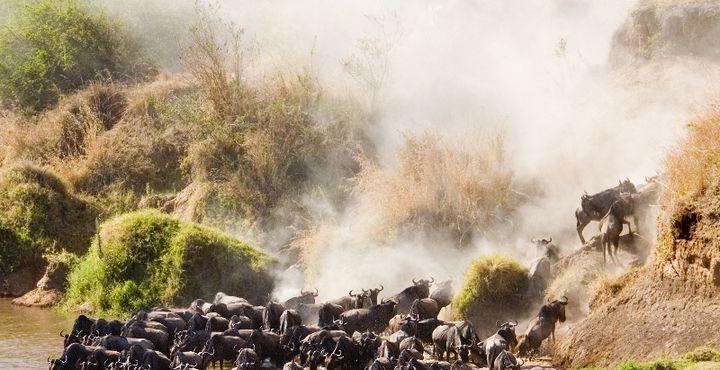 Seien Sie live dabei, wenn hunderttausende Zebras und Gazellen von der Serengeti in die Masai Mara ziehen.