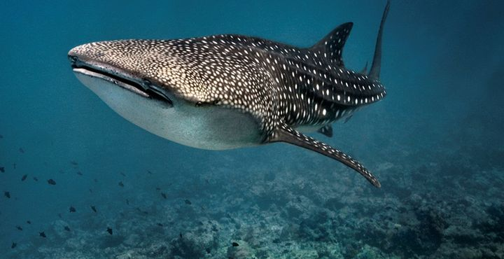 Wussten Sie, dass der Walhai der größte Hau und zugleich der größte Fisch der Gegenwart ist?
