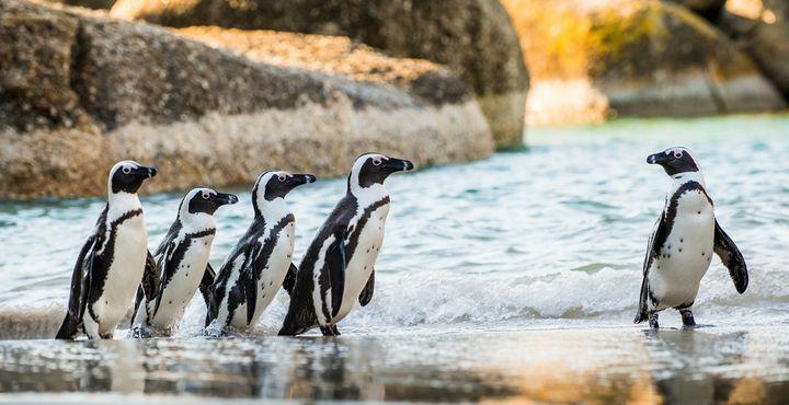 Pinguine gibt es nicht nur am Südpol. Auch am Boulders Beach in Kapstadt können Sie die flugunfähigen Bewohner erleben.