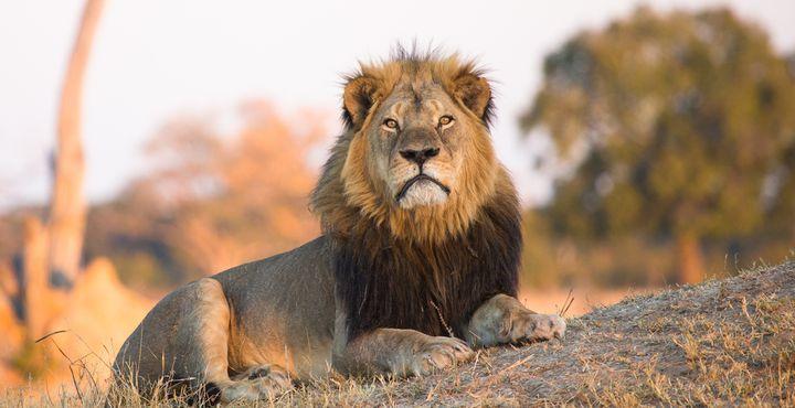 Neben Elefanten sehen Sie auch die majestätischen Löwen.