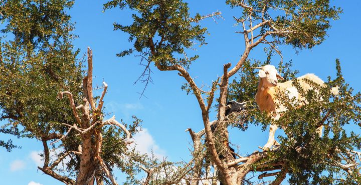 Das Val D'Argan in Essaouira ist nicht nur bei Menschen für seine Arganbäume beliebt. Auch die Ziegen haben gelernt, wie sie am besten an die Früchte gelangen. Bild: Marko Roth Productions