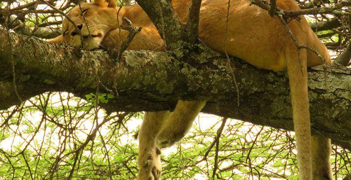Mit etwas Glück sehen Sie unterwegs dösende Baumlöwen, die sich in den Akazienbäumen verstecken.