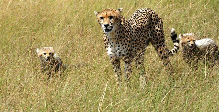 Im Queen Elizabeth Nationalpark fühlen Sie sich teilweise wie in der Savanne - den Leoparden gefällt es hier besonders gut.