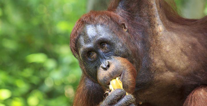 Bestaunen Sie die prächtigen Primaten, die sich in der Semenggoh Auswilderungsstation in einem Gelände von 700 Hektar frei bewegen können.